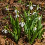 Primeiras flores do snowdrop da mola na flor; horizontal Fotos de Stock Royalty Free