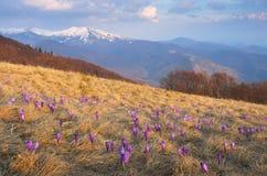 Primeiras flores nas montanhas Imagens de Stock Royalty Free
