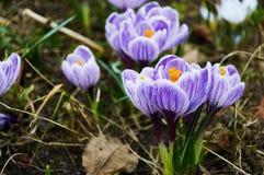 Primeiras flores violetas do açafrão Foto de Stock Royalty Free