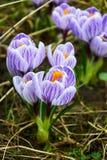 Primeiras flores violetas do açafrão Fotografia de Stock Royalty Free