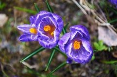 Primeiras flores violetas do açafrão Imagens de Stock Royalty Free