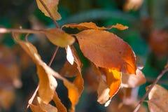 Primeiras folhas de Brown deste outono, em um dia brilhante fotografia de stock royalty free