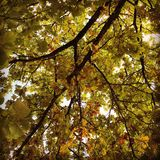 Primeiras folhas marrons Fotografia de Stock