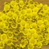 Primeiras mãe da mola e flor adiantadas amarelas da madrasta na terra vazia Planta médica do farfara do Tussilago fotos de stock royalty free