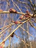 Primeiro Cherry Tree Buds Of Spring chorando Imagem de Stock