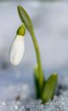 Primeiro crescimento de flor da mola da neve Imagem de Stock Royalty Free