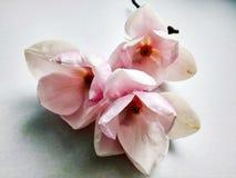 Primeiro fim bonito da magnólia da flor da mola acima imagens de stock royalty free
