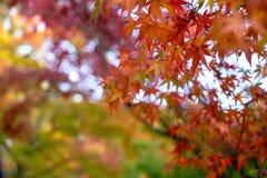 Primeiro plano bonito das folhas de bordo do outono na cor amarela, da laranja, a vermelha e a verde com fundo borrado colorido d fotografia de stock