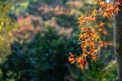 Primeiro plano colorido dos ramos das folhas de bordo do outono na cor amarela, alaranjada e vermelha com Web de aranha sob a luz fotos de stock royalty free