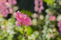 Primeiro plano cor-de-rosa da flor foto de stock