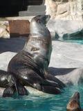 Primeiro plano dos animais selo Vida marinha Foto de Stock