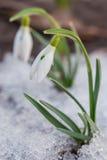 Primeiro snowdrop entre a neve thawing Imagens de Stock Royalty Free