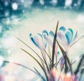 Primeiros açafrões bonitos no fundo azul da neve com bokeh do raio de sol, natureza da mola Imagens de Stock Royalty Free