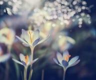 Primeiros açafrões que florescem, natureza da mola Imagem de Stock Royalty Free