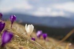 Primeiros açafrões violetas e brancos brilhantes de surpresa de florescência maravilhosos que crescem no monte íngreme Vista borr Fotos de Stock