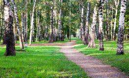 Primeiros dias de setembro no bosque do vidoeiro da manhã Imagens de Stock Royalty Free
