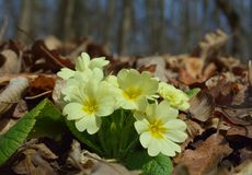 Primel acaulis Blumen Stockbild