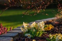 Primel acaulis - Primel im Garten Lizenzfreies Stockbild