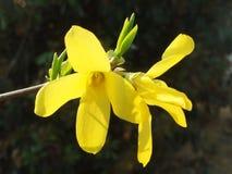 Primel, Blume Stockbild