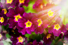 Primel. Blumenhintergrund mit bokeh Stockfotos