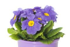 Primel im Blumenpotentiometer lizenzfreie stockfotografie