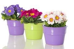 Primel im Blumenpotentiometer Stockfoto
