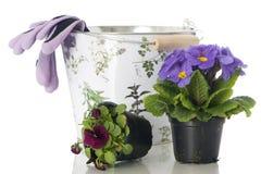 Primel im Blumenpotentiometer stockbild