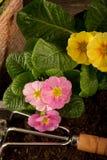 Primel und Gartengerät Stockfotos