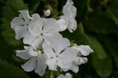 Primel, weiße Blumen lizenzfreies stockfoto