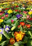 Primeln in einer Blumenzuchtplantage Stockbild