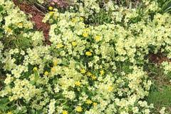 Primeln und Celandines im Frühjahr stockfoto