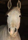 Primer árabe del caballo de la cara dentro de un granero oscuro Imagenes de archivo