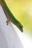 Primer 1 del Gecko foto de archivo