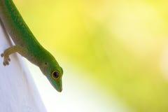Primer 2 del Gecko Imágenes de archivo libres de regalías