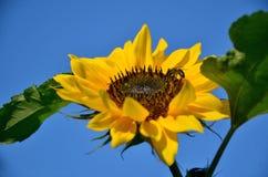 Primer, abeja en el girasol con el cielo azul en fondo Foto de archivo