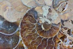 Primer abstracto del fósil de la amonita Foto de archivo