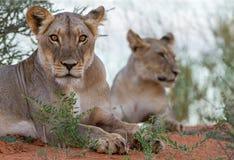 Primer africano de la leona de los leones imagen de archivo