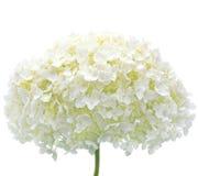 Primer aislado flor blanca Mophead del Hydrangea Imagen de archivo