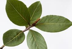 Primer aislado planta de la hoja de laurel Imagenes de archivo