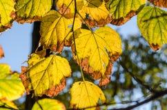 Primer amarilleado de las hojas Imagen de archivo libre de regalías