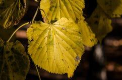 Primer amarilleado de las hojas Fotos de archivo
