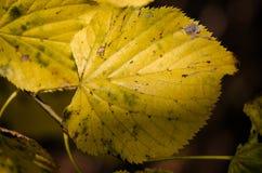 Primer amarilleado de las hojas Imagenes de archivo