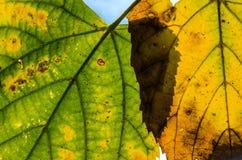 Primer amarilleado de las hojas Imagen de archivo