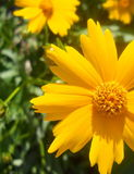 Primer amarillo de Daisy Black Eyed Susan Flower Fotografía de archivo