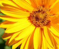 Primer amarillo de la flor Fotos de archivo