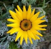 Primer amarillo de la flor Imagen de archivo