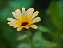 Primer amarillo de la flor fotos de archivo libres de regalías