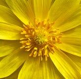 Primer amarillo de la flor de Adonis Antecedentes macros Puede ser utilizado en diseño y la impresión del sitio web Fotografía de archivo