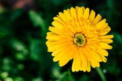 Primer amarillo de la flor de la margarita, fondo natural Fotos de archivo libres de regalías