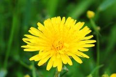 Primer amarillo de la flor del diente de león en verano en un pueblo foto de archivo